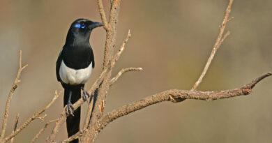 Pica mauritanica: una specie a rischio - Ente Fauna Siciliana
